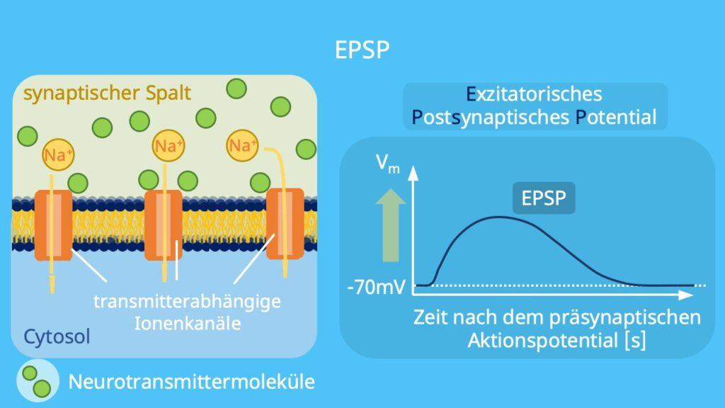 xzitatorisch, erregend, Depolarisation, exzitatorische synapse