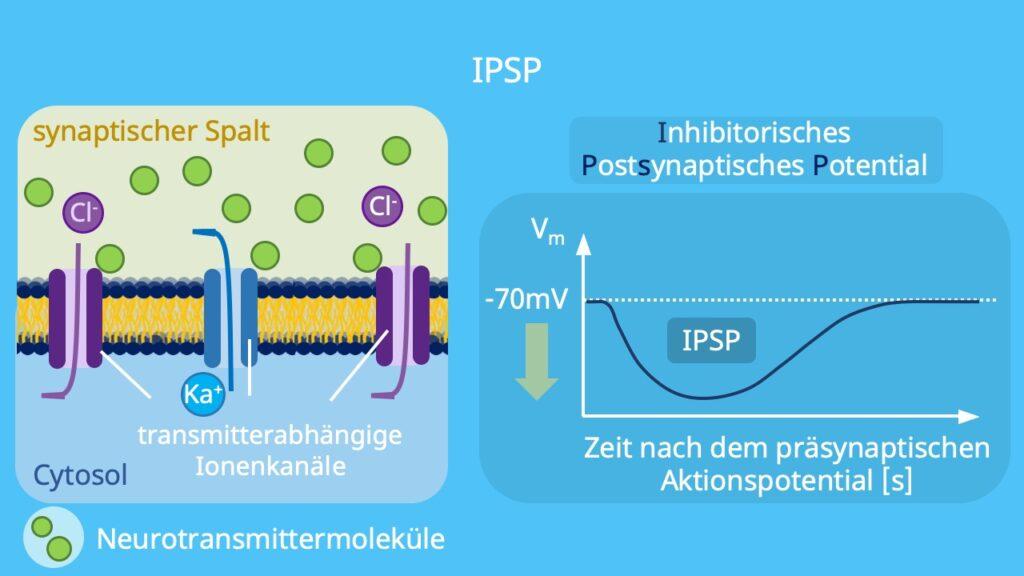 inhibitorisch, hemmende Synapse