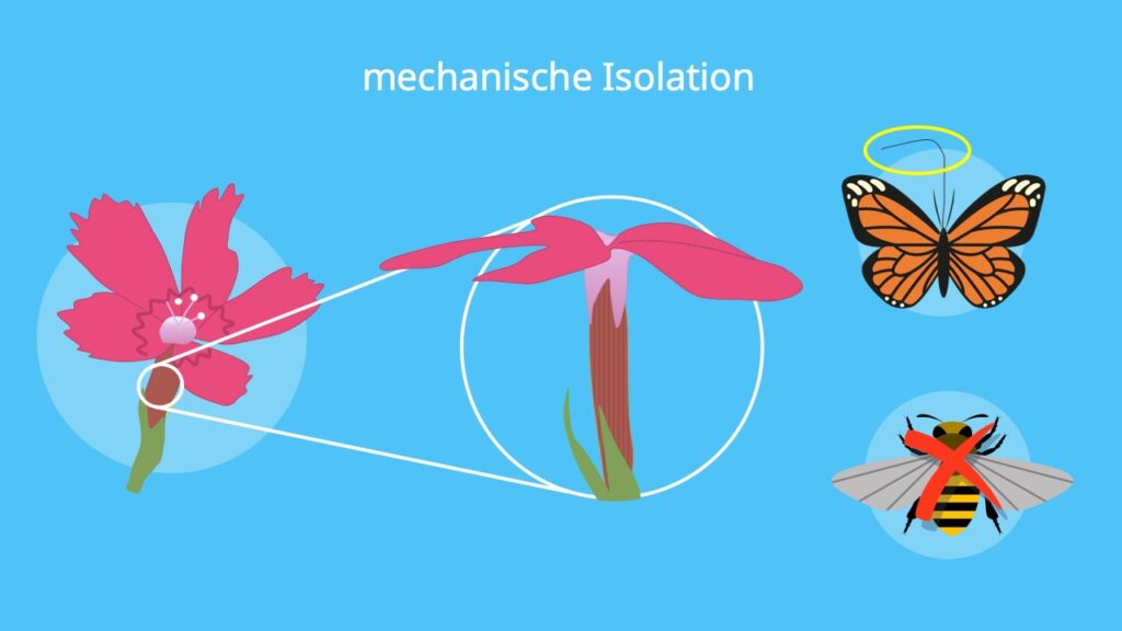 Isolationsmechanismen, Isolation Biologie, Mechanische Isolation, präzygotisch, Beispiel, Nelke