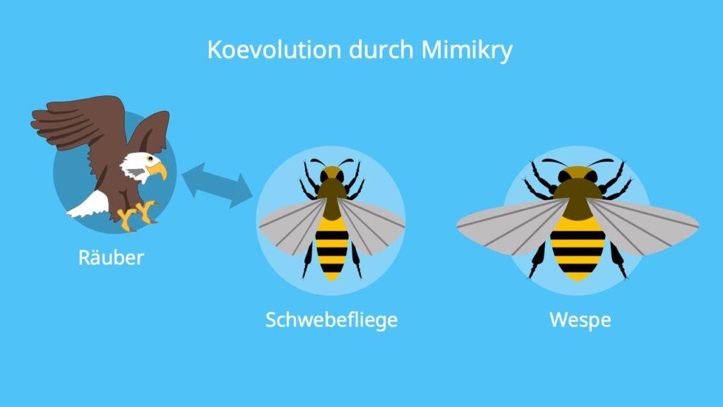 Koevolution Beispiel, Mimikry, Schwebfliege, Wespe