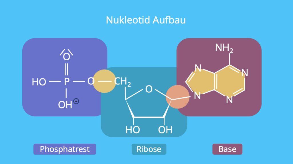 Phosphat, Ribose, DNA Base, organische Base, Thymin, Adenin, Cytosin, Guanin, Uracil