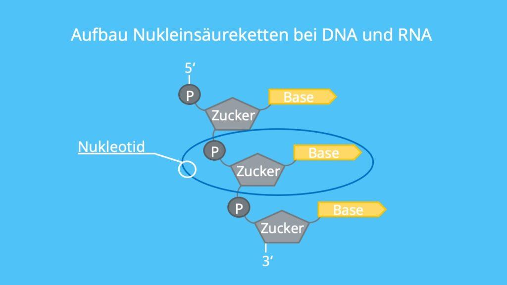 Ribose, Desoxyribose, Nukleotide, Nukleinsäuren, Zucker-Phosphatrückgrat