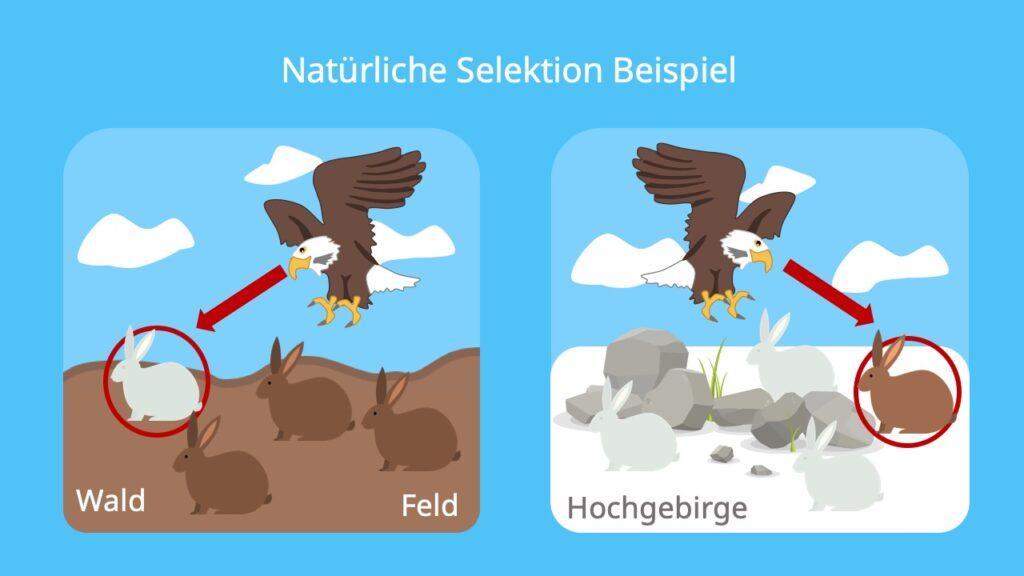 Selektion, natürliche Selektion, Hasen, Beispiel, Darwin, Biologische Fitness, Anpassung