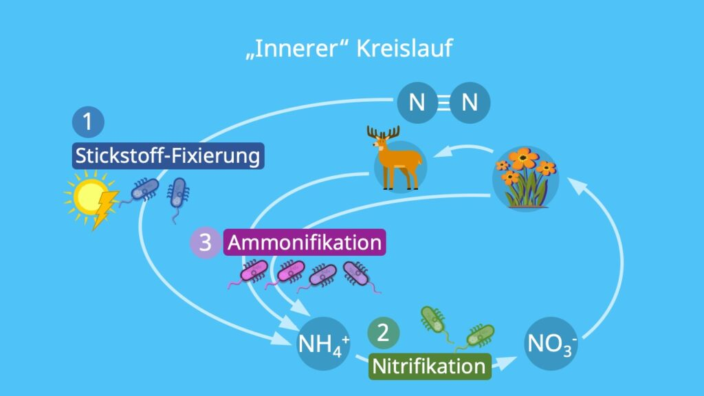 N Kreislauf, Nitratkreislauf, Stickstoff Kreislauf, Stickstoffkreislauf Boden, Stickstoffkreislauf Biologie, Stickstoffkreislauf Chemie, Stickstoffkreislauf einfach erklärt