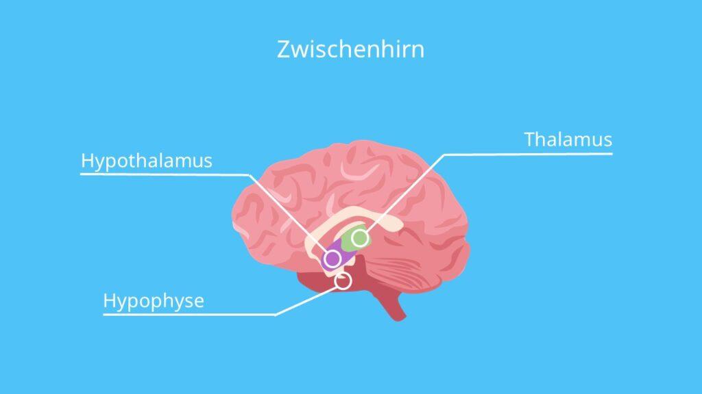 Thalamus, Hypothalamus, Thalamus und Hypothalamus, Thalamus Funktion, Hypophyse Funktion