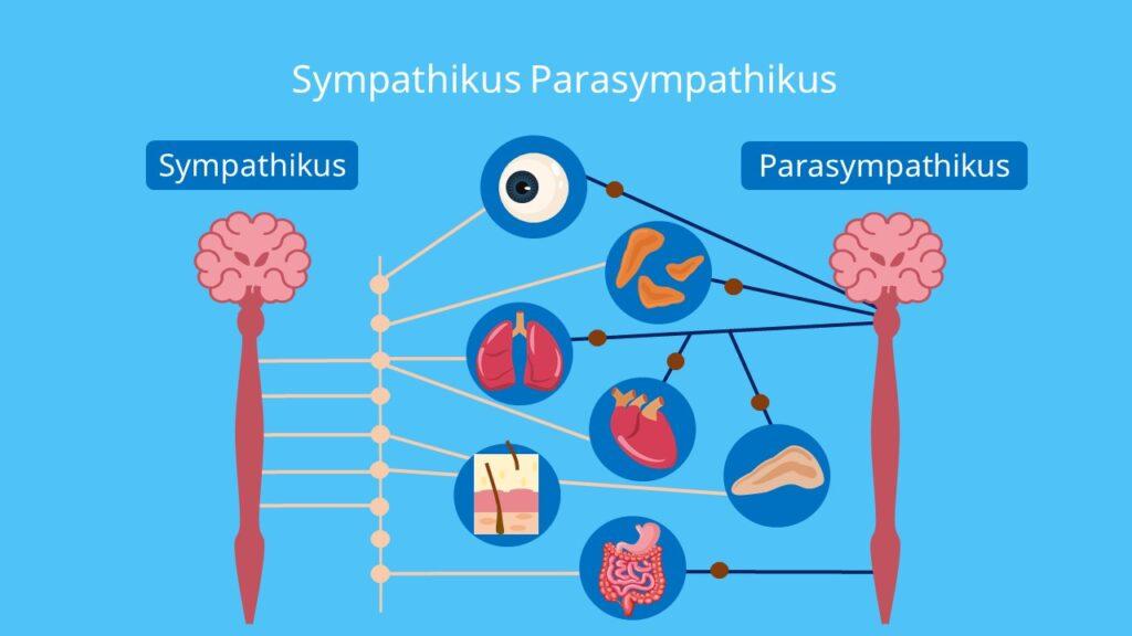 Sympathicus, Parasympathicus, vegetatives nervensystem