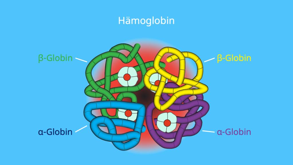 Was ist ein Monomer, Monomer Polymer, Globen, Beta Globen, Alpha Globin