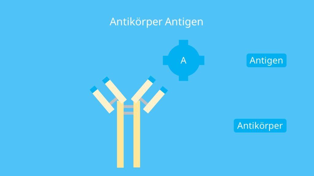 spezifische Bindung, Antigen-Antikörper-Komplex