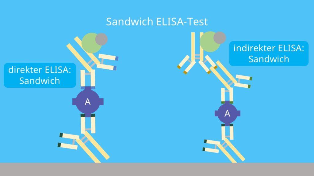 direkter ELISA, indirekter ELISA; Sandwich Prinzip