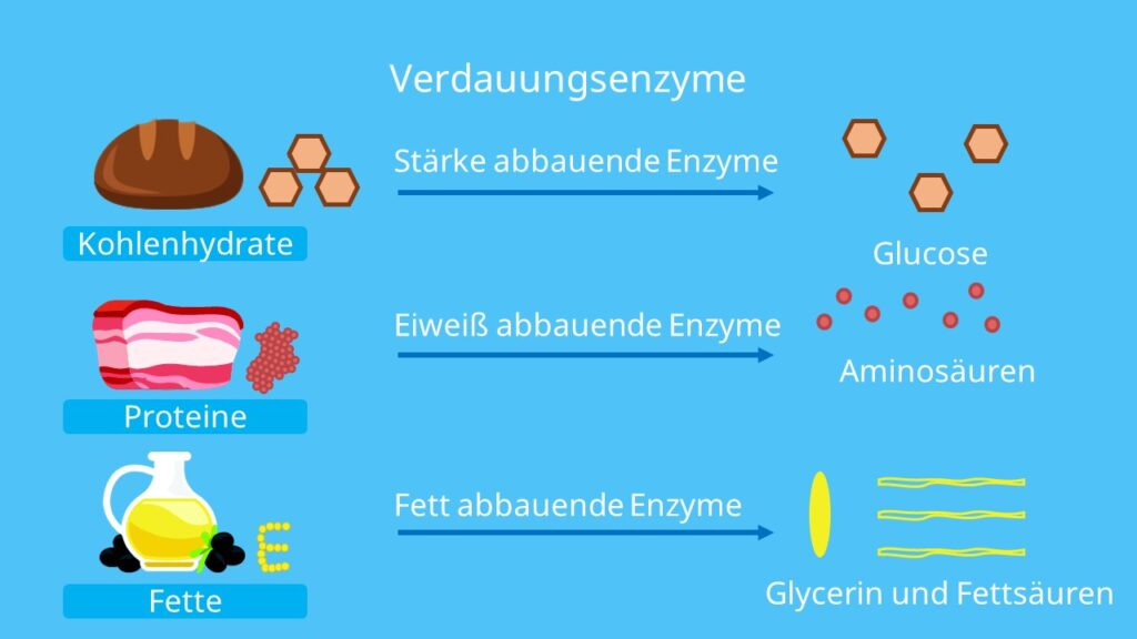 Fettverdauung, Verdauungsorgane, Eiweiß Verdauung, Kohlenhydratverdauung, Enzyme, Lipase, Amylase