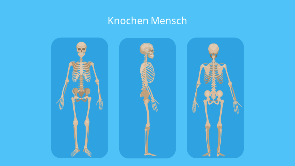 Knochenarten, Knochen Mensch, Knochen funktion, Anzahl Knochen Mensch, Wie viele Knochen hat ein Mensch