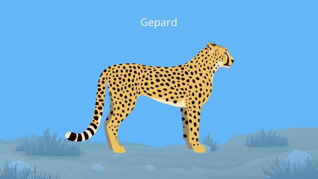 Gepard tier, gepard kopf, acinonyx jubatus, cheetah, schnellstes tier der welt, gepard bilder, wie sieht ein gepard aus