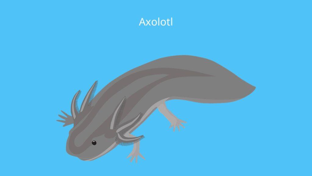 Axolotl bilder, ambystoma mexicanum, mexikanischer lurch, molch, lurch