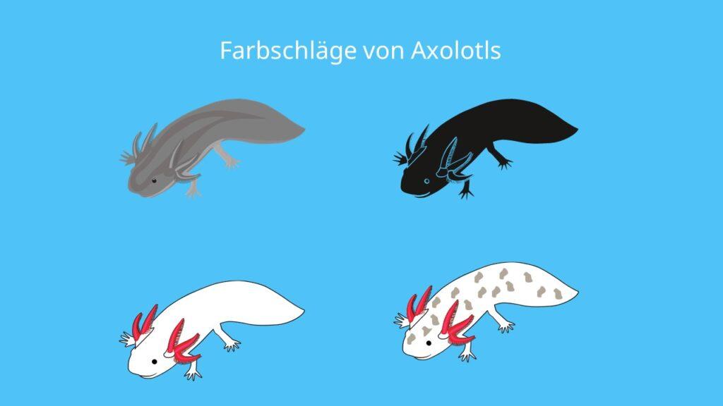 axolotl farbschläge, axolotl bilder, mexikanischer lurch, molch, axolotl farben