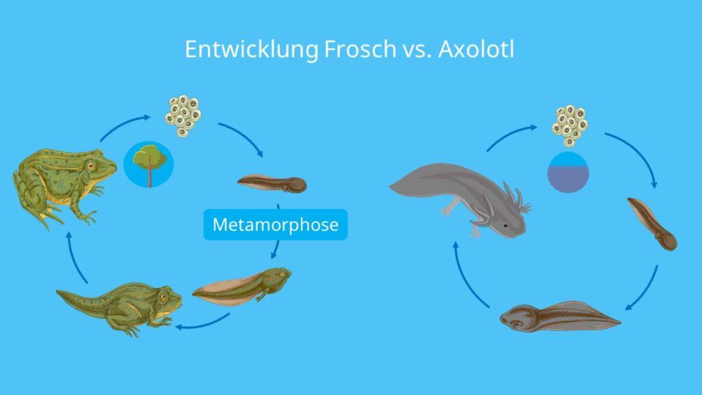Fortpflanzung axolotl, babys axolotl, metamophose