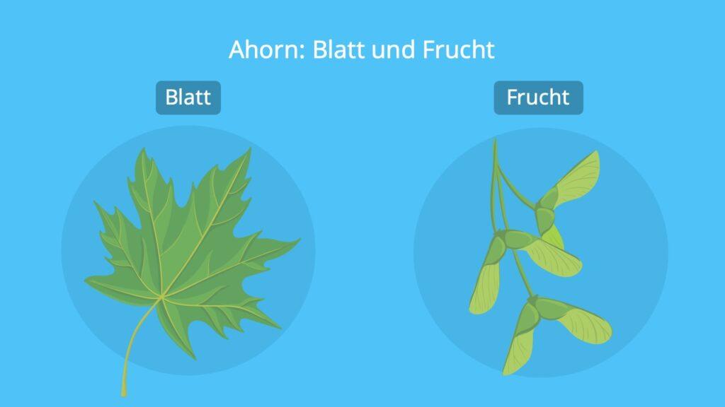 steckbrief ahorn, ahorn, spitzahorn blatt, spitzahorn frucht, ahornbaum, ahorn blatt, ahorn frucht