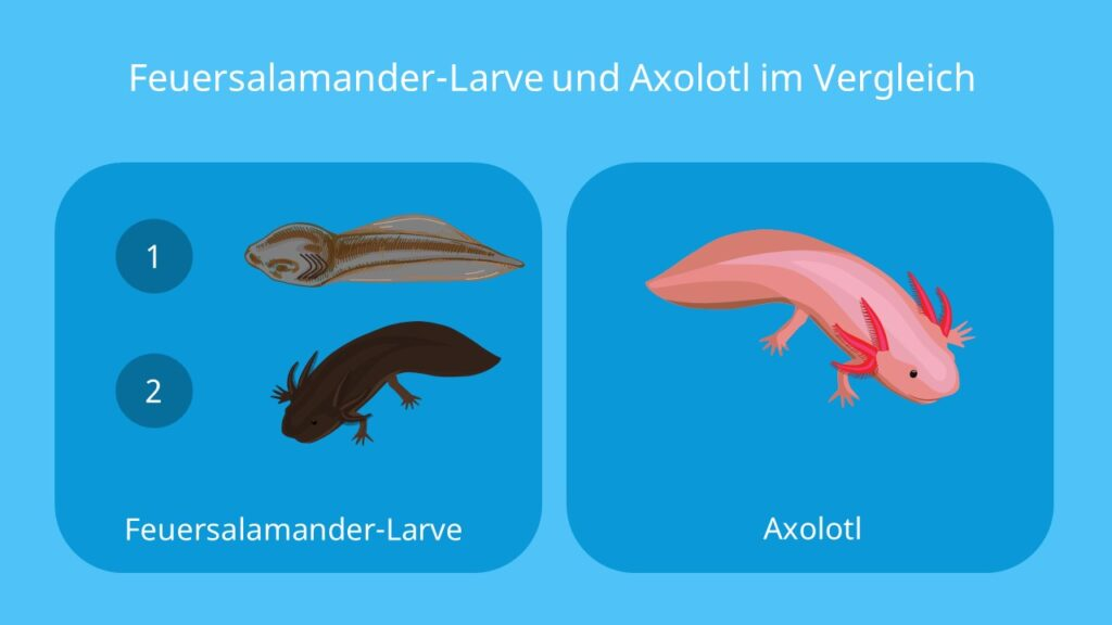 feuersalamander larve, salamander eier, fortpflanzung feuersalamander, bilder feuersalamander