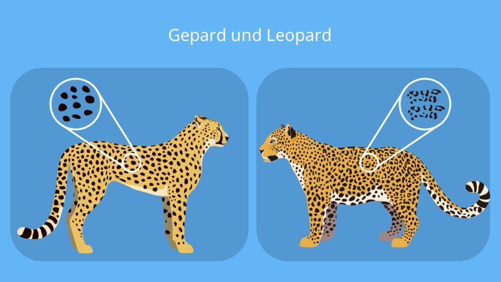 gepard leopard, leopard gepard, unterschied leopard gepard, unterschied gepard leopard, gepard leopard unterschied, leopard gepard unterschied, gepard vs leopard, leopard vs gepard, gepard und leopard, leopard und gepard