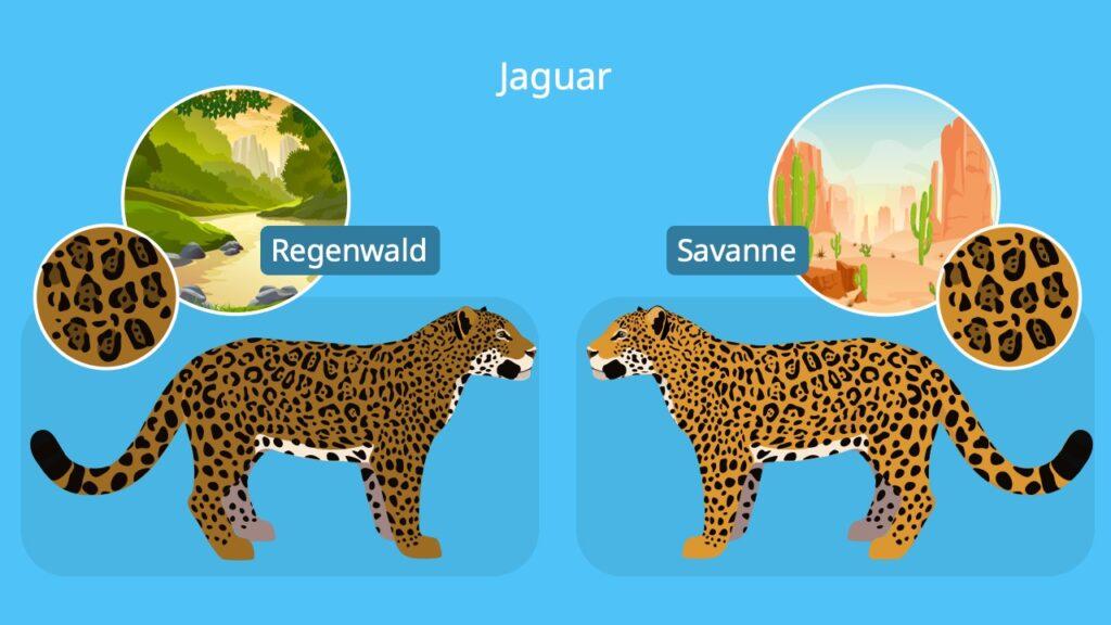 Panthera onca, jaguar tier, tier jaguar, lebensraum jaguar, wo leben jaguare