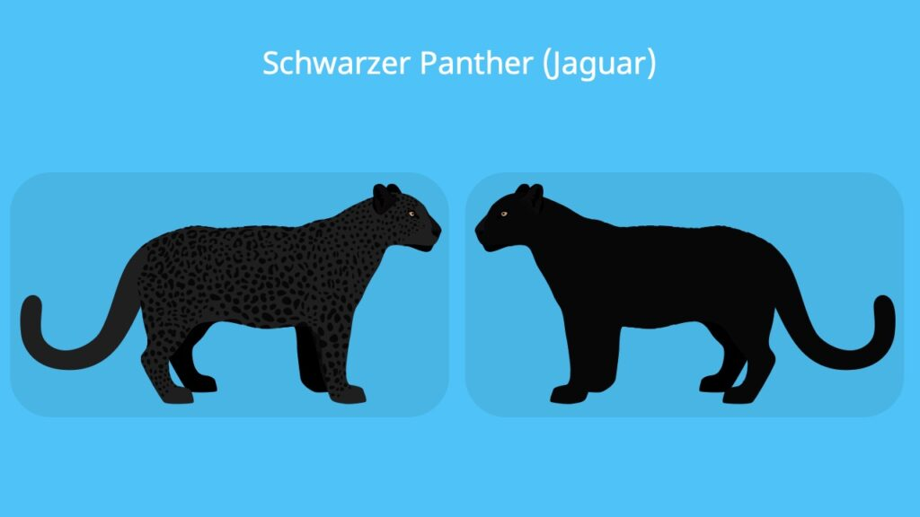 schwarzer jaguar tier, schwarze raubkatze, schwarzer panther, panthera onca