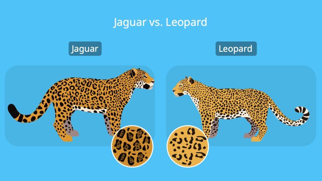 Jaguar vs. leopard, unterschied jaguar leopard, leopard jaguar unterschied, jaguar tier, panthera onca, panthera pardus