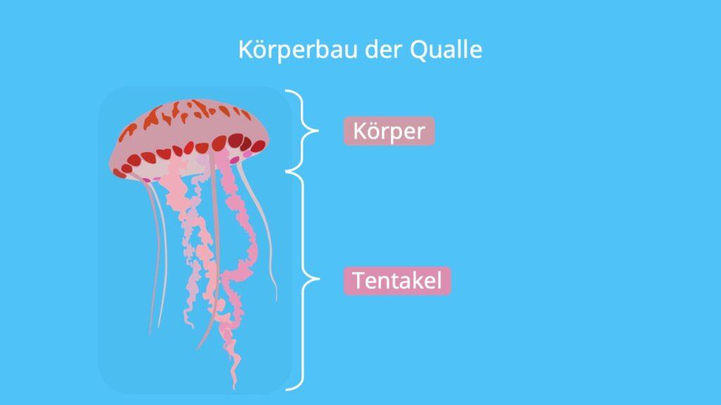 aus was besteht eine qualle, wie sehen quallen aus, was sind quallen, quallen körperbau, qualle tentakel, medusa