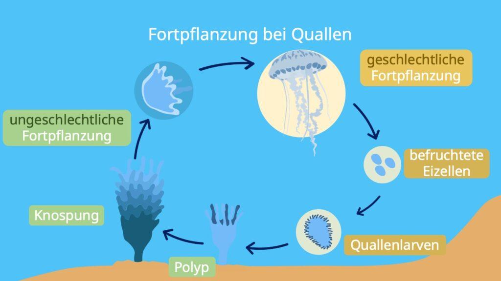 Ungeschlechtlich, geschlechtlich, fortpflanzung quallen, polyp, polypen-stadium, polypen, quallenlarve, festsitzendes nesseltier, medusa